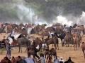 Pushcar Camel Festival