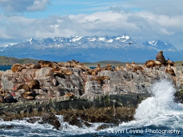 Sea Lions of Patagonia